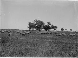 Actual 1940s sheep.