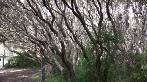 The dark wood of coastal tea tree.