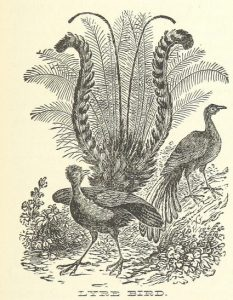 Lyre Bird. I have seen one once in the wild, but they are not considered rare. They are a great metaphor for writers. They can imitate any noise - mechanical or natural, local or foreign, but only have one natural habitat.
