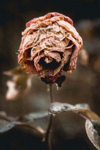Dead flower Valentine